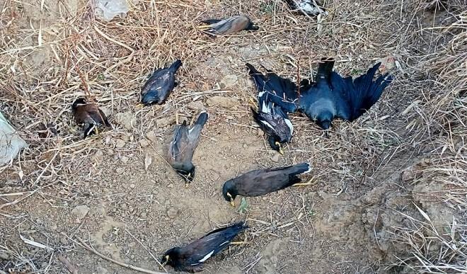 राजस्थान में बर्ड फ्लू का कहर, 443 और पक्षियों की मौत, 16 जिले प्रभावित