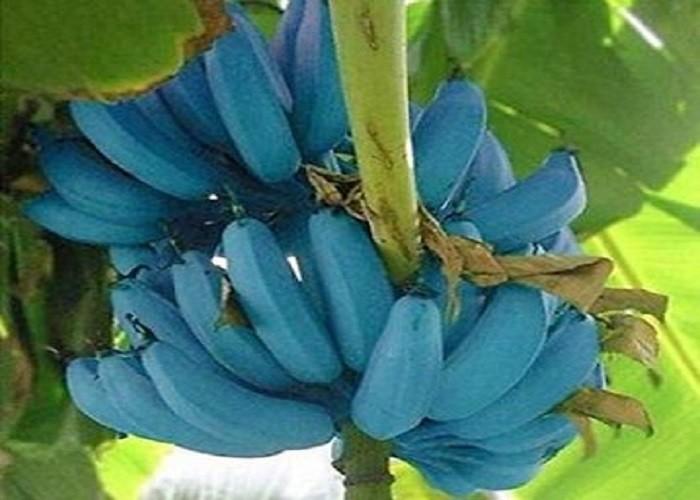 सेहत के लिए बहुत फायदेमंद है नीला केला, खाने में देता है आइसक्रीम जैसा स्वाद